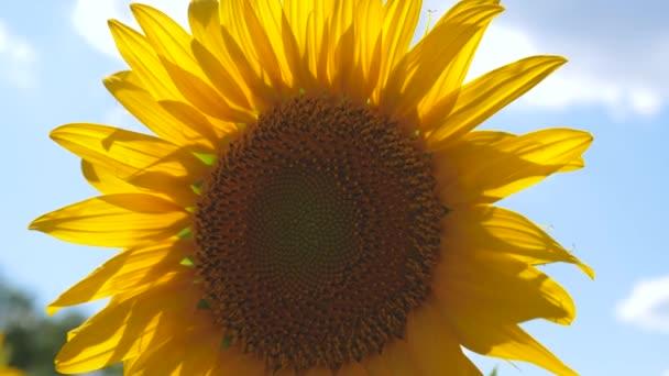 Krásná pole se slunečnicemi v létě. detailní záběr. velká slunečnicová květina. pole žlutých slunečnicových květin na pozadí mraků. slunečnice se houpe ve větru. Oříznutí plodin dozrávajících na poli.