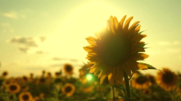 Beautiful sunflowers in summer field in rays of bright sun. Harvest ripens in field. field of yellow sunflower flowers on a background of clouds. sunflower sways in wind. agricultural business
