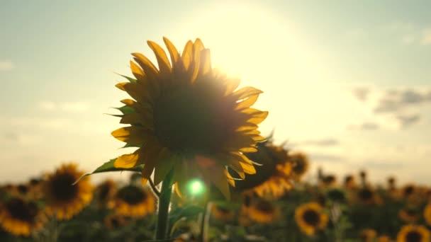 Napraforgó ringatózik a szélben. mezőgazdasági vállalkozás. Gyönyörű napraforgók a nyári mezőn, napsugarakban. A termés a mezőn érik. mező sárga napraforgó virágok hátterében felhők.