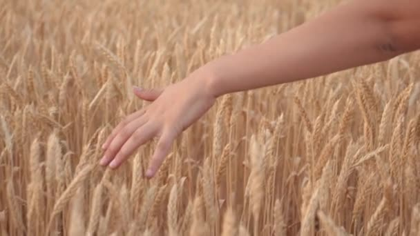 Agricultural business. free young woman farmer walking along a grain field and touches a hand with ripe spikelets of wheat. concept of harvesting, agriculture and prosperity.