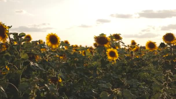 A field of yellow sunflower flowers against a background of clouds. A sunflower sways in the wind. Beautiful fields with sunflowers in the summer. Crop of crops ripening in the field.