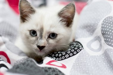 portrait of a snow-white kitten in a bed