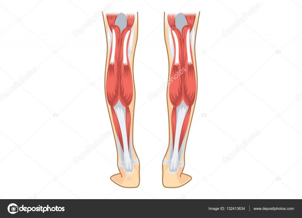 Músculo de la pantorrilla de humanos — Vector de stock © solar22 ...