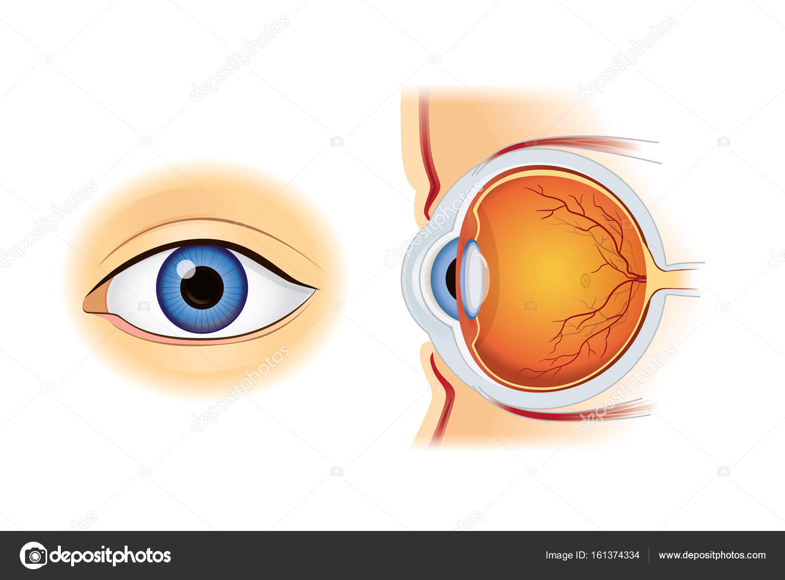 Human eye anatomy in inside and out side view stock vector human eye anatomy in inside and out side view isolated on white illustration about medical and science vector by solar22 ccuart Choice Image
