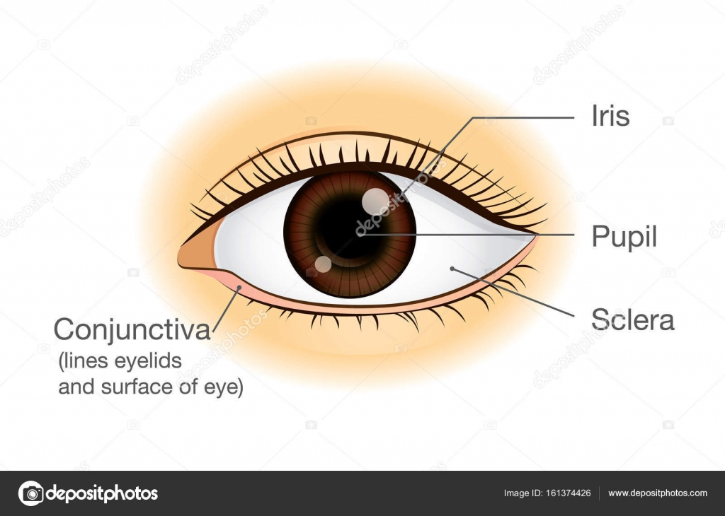 Human eye anatomy in front view. — Stock Vector © solar22 #161374426