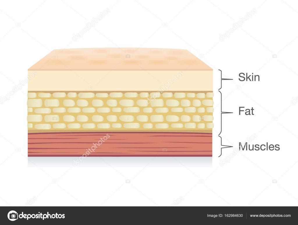 Anatomía de la piel capa, células de grasa y músculo capa estilo ...