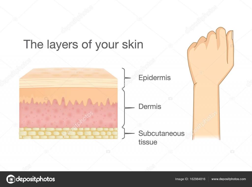 Anatomie der menschlichen Haut Schicht und arm — Stockvektor ...