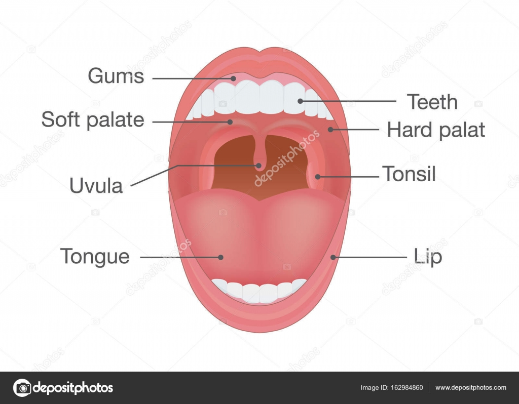 Anatomy Of Human Mouth Stock Vector Solar22 162984860