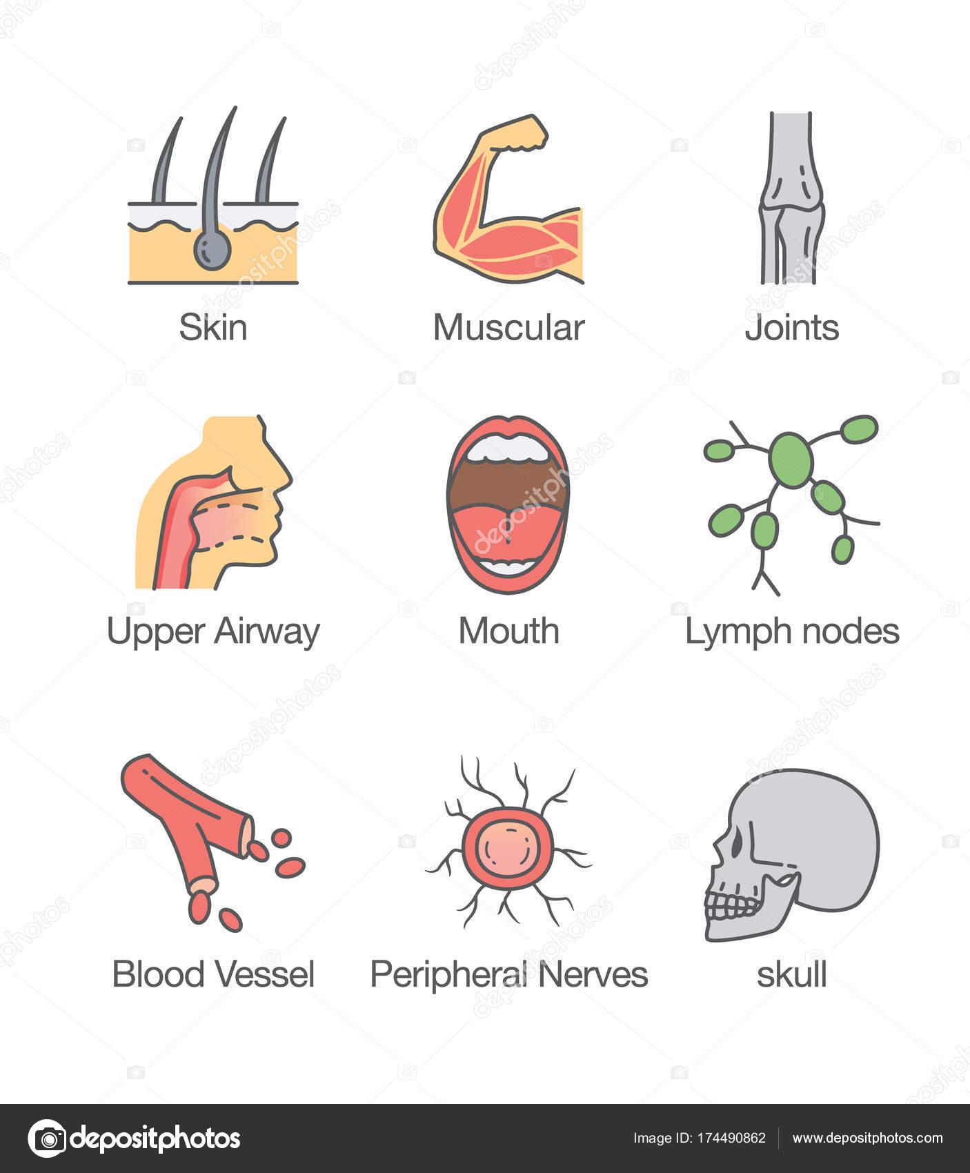 Menschlichen Körperteil und innere Organ-Symbol — Stockvektor ...