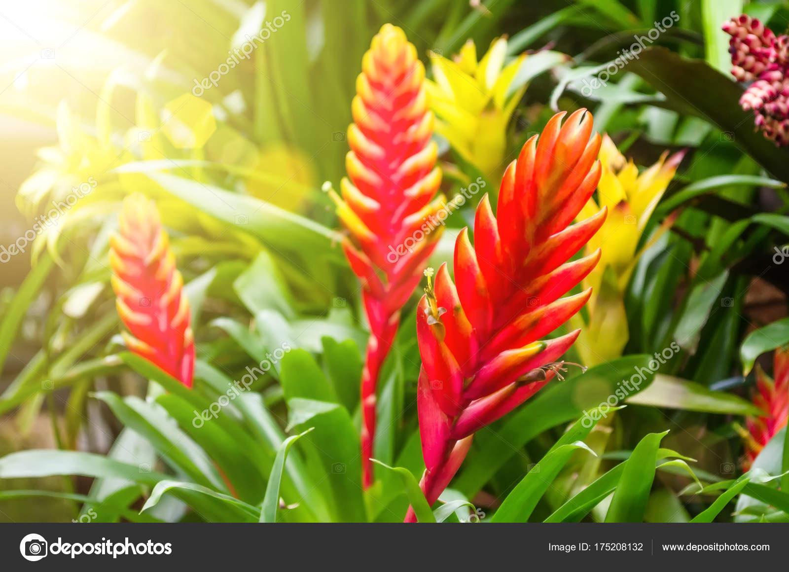 plantes fleurs vriesea de for t tropicale humide photographie aapsky 175208132. Black Bedroom Furniture Sets. Home Design Ideas