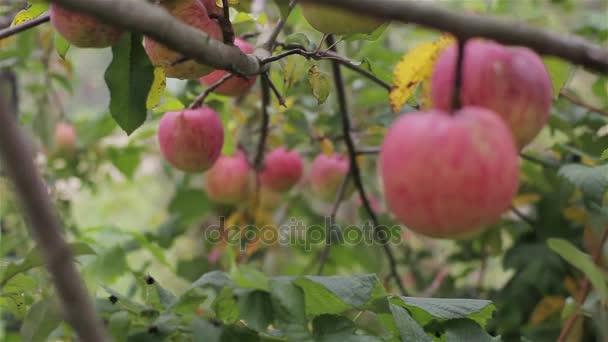Jablka na stromě zblízka stojan zaměření. Červené organické pečená jablka rostou, visící na větvi stromu orchard zahradní venkově připraveny ke sklizni. Ekologické zemědělství místní firmy domácí ovoce zdravé vitamín dieta