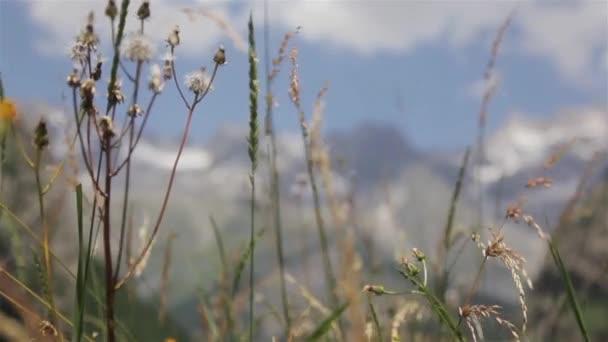 Divoké fytoterapií plevele alpské louky v létě horské pozadí zblízka přesun stojanu zaměření. Alpské rostlin trávy kýval v údolí oblasti Mont Blanc zasněžené skalní vrchol Alp čerstvého vzduchu