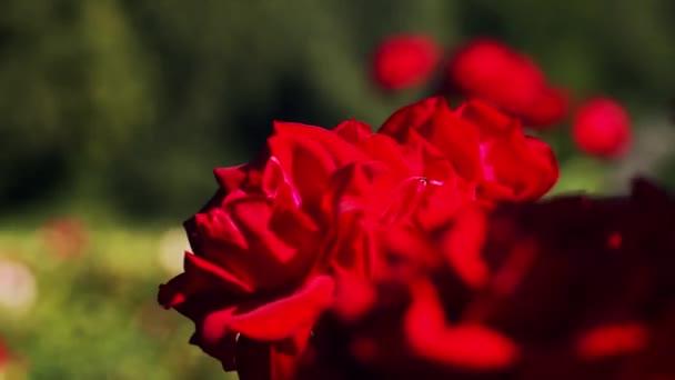 Macro videó felvétel vörös rózsa remegő szél szabadban zöld disokused háttér fénymásolás helyet. Elülső kilátás gyönyörű virág nő a kertben közel a sekély dof. Kertészeti virágüzlet