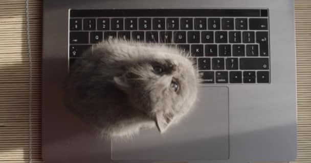 Felülről lefelé kilátás bolyhos cica ül notebook billentyűzet relaxáló lassított felvétel közeli. Kiscica vakarózik, felnéz a kamera természetes fényére. Szabadúszó segít támogatni az üzleti koncepció