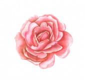 Színes akvarell illusztráció egy vörös rózsa virág közelkép egy fehér elszigetelt háttér.