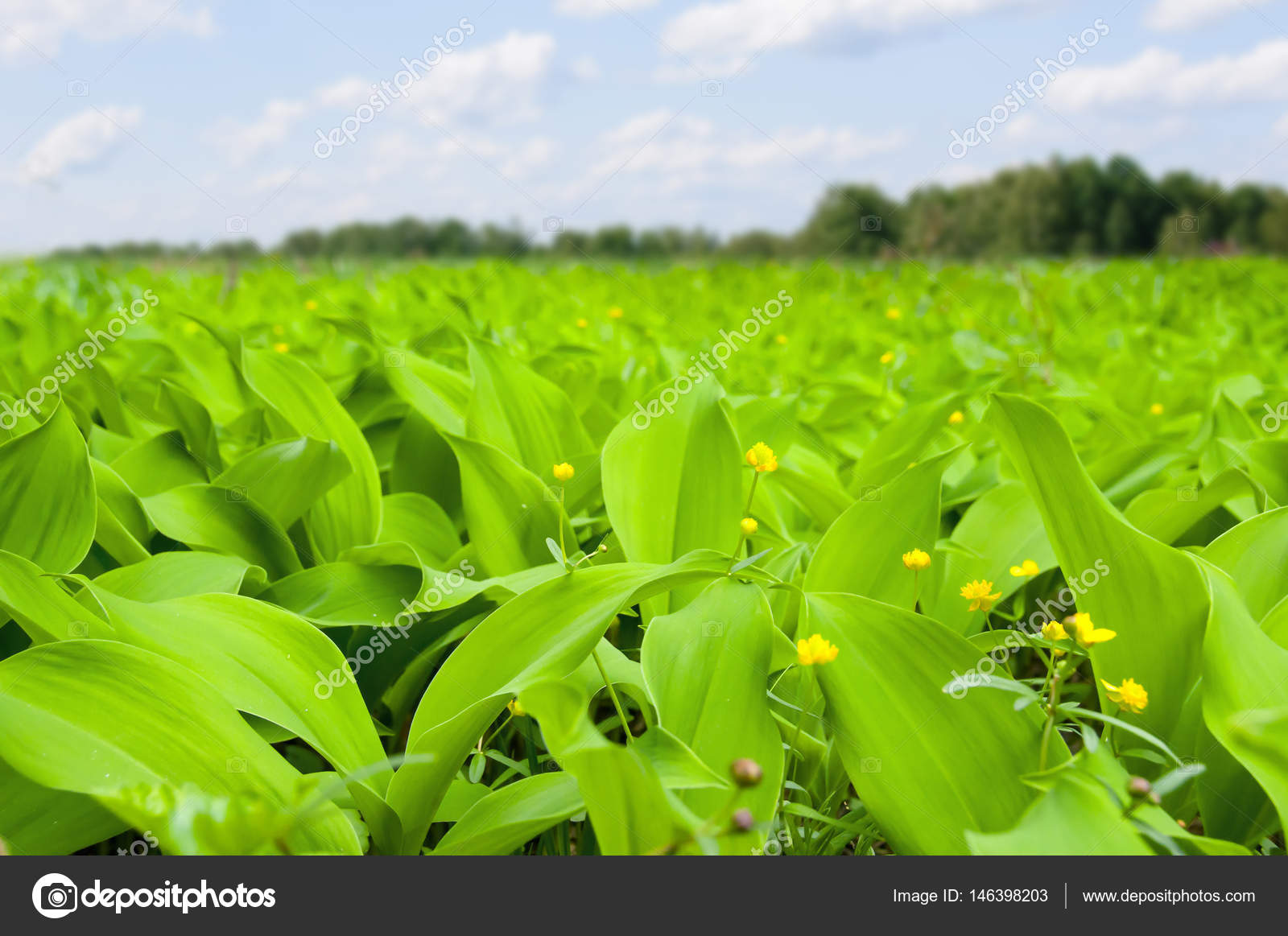 Field Of Herbs With Big Leaves And Little Yellow Flowers Stock