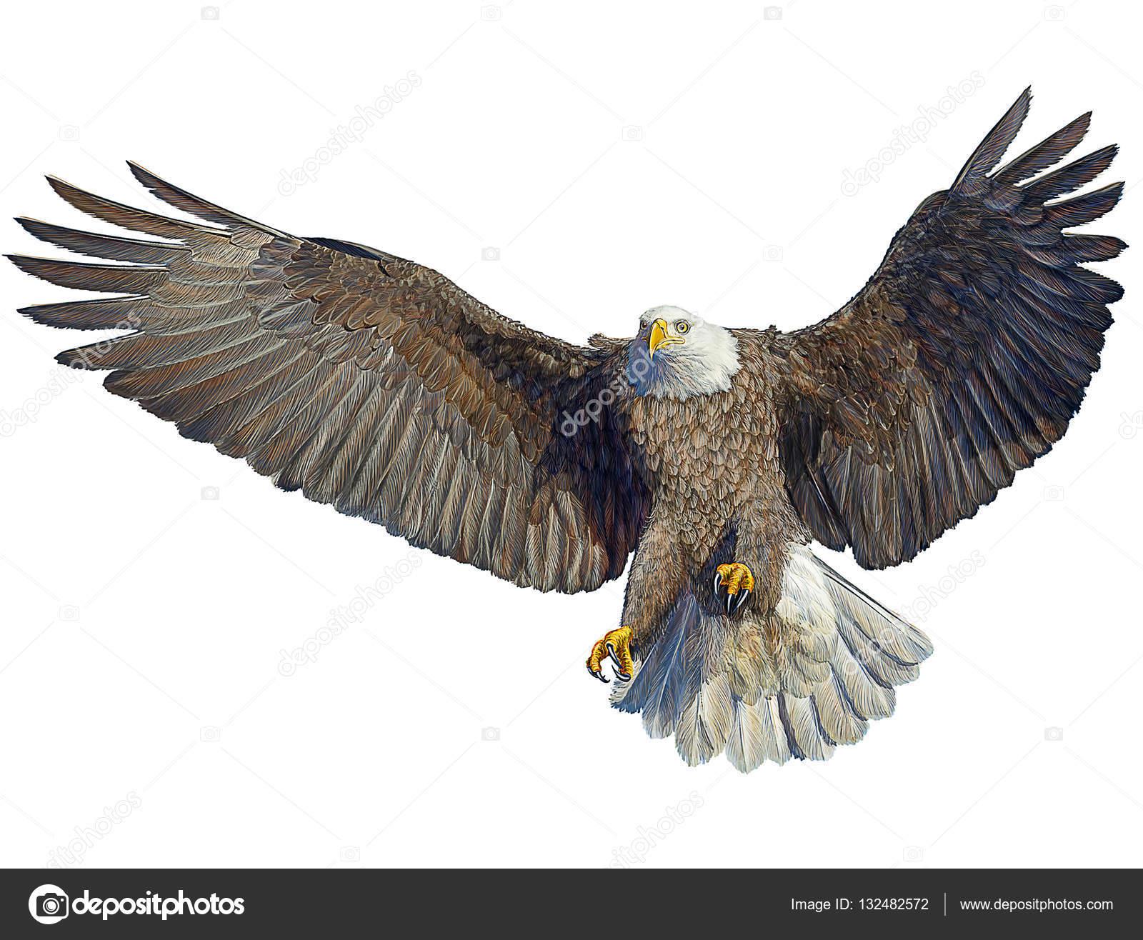 Dessin Oiseau Mouche aigle à tête blanche oiseau mouche atterrissage part dessiner sur