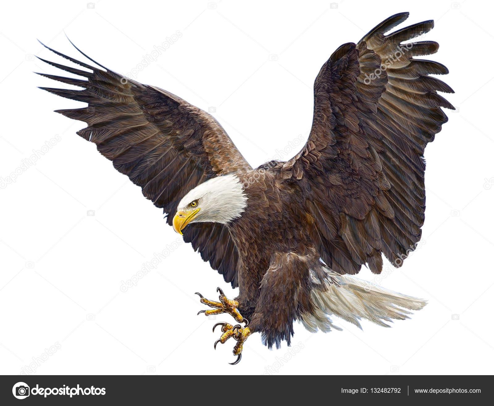 Águila calva volando aterrizaje swoop mano empate en blanco — Foto ...