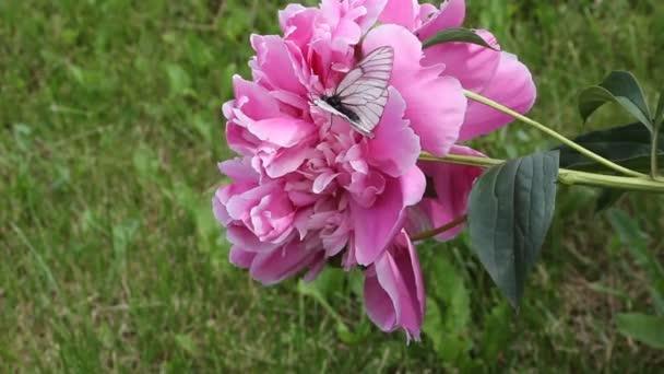 Káposzta pillangó nektárt iszik a rózsaszín pünkösdi rózsa, nyári kert