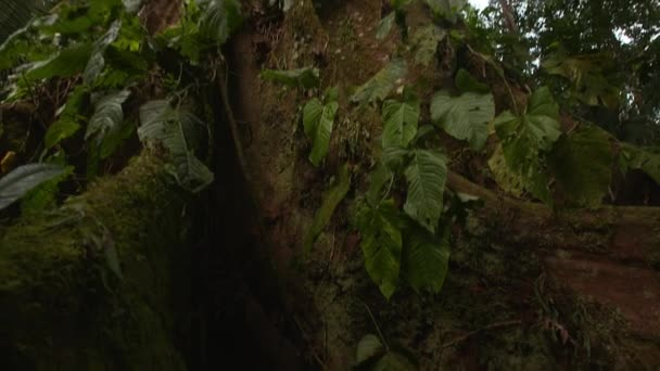 Kapok Tree - Amazon - Tilt 1