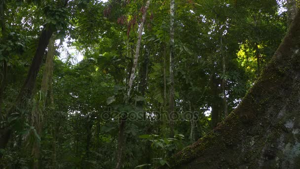 Kapok Tree - Root - Amazon