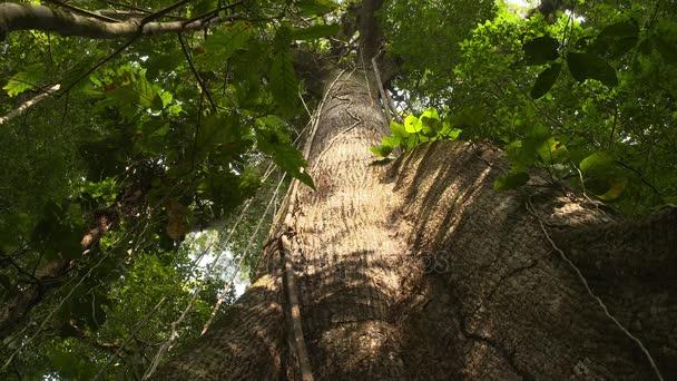 Kapok Tree - nízký úhel záběru - Amazon