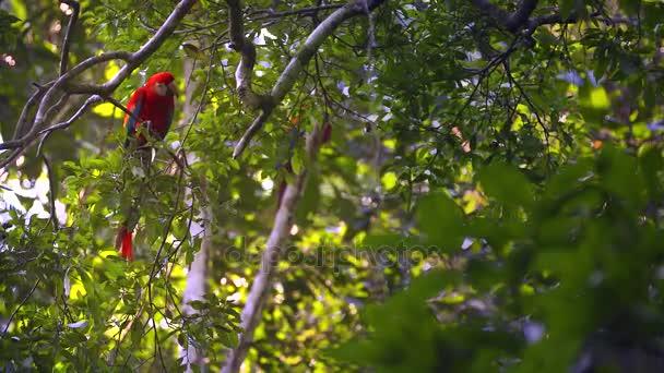 Papoušek - ara arakanga - sedí na stromě