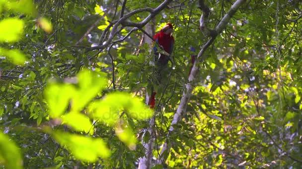 Pappagallo - ara scarlatta - che si siede in un albero
