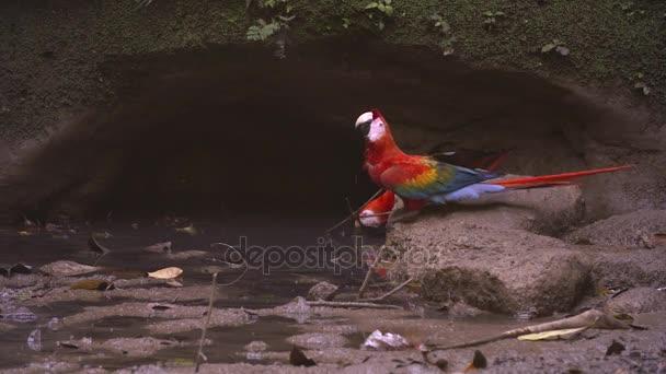 Ara arakanga na hliněné lízat - Amazon