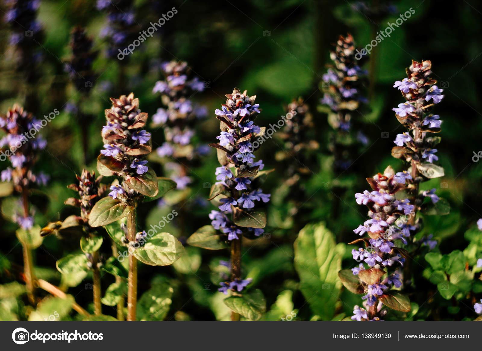 Belles Plantes Avec Fleurs Violettes Photographie Sonyachny