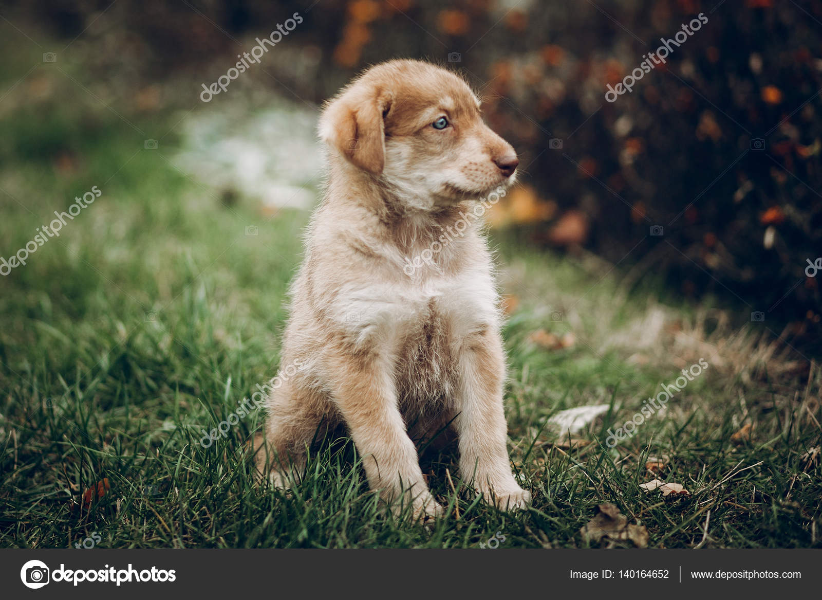 Beautiful Golden Retriever Blue Eye Adorable Dog - depositphotos_140164652-stock-photo-adorable-brown-puppy-with-amazing  Perfect Image Reference_695094  .jpg