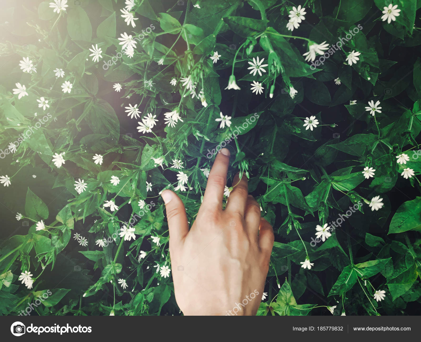 Hand Touching Green Grass White Flowers Sun Light Rays Spring