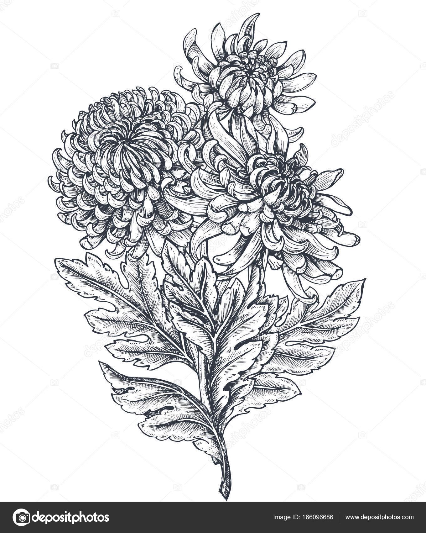 Ramo de vector con mano dibujado crisantemos. — Archivo Imágenes ...