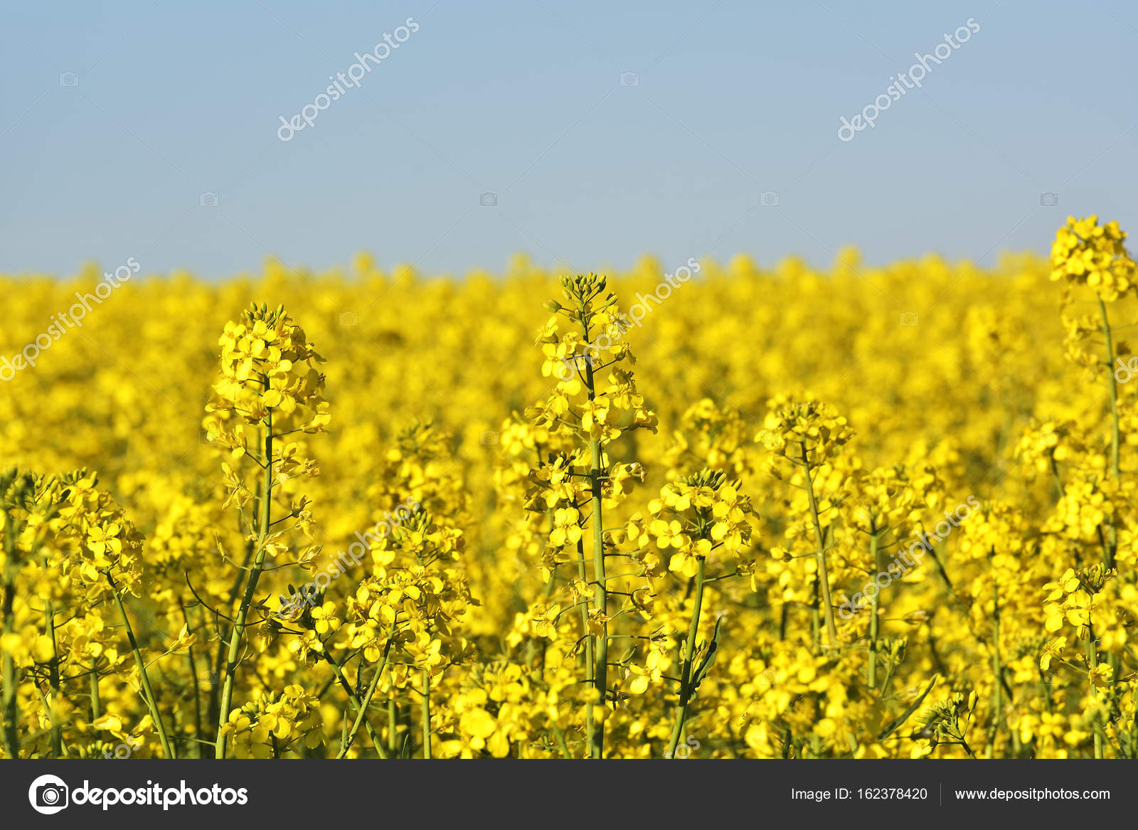 Rapeseed Field Blooming Canola Flowers Close Up Rape On The Field