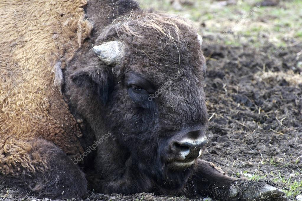 American bison (Bison bison), also known as the American buffalo