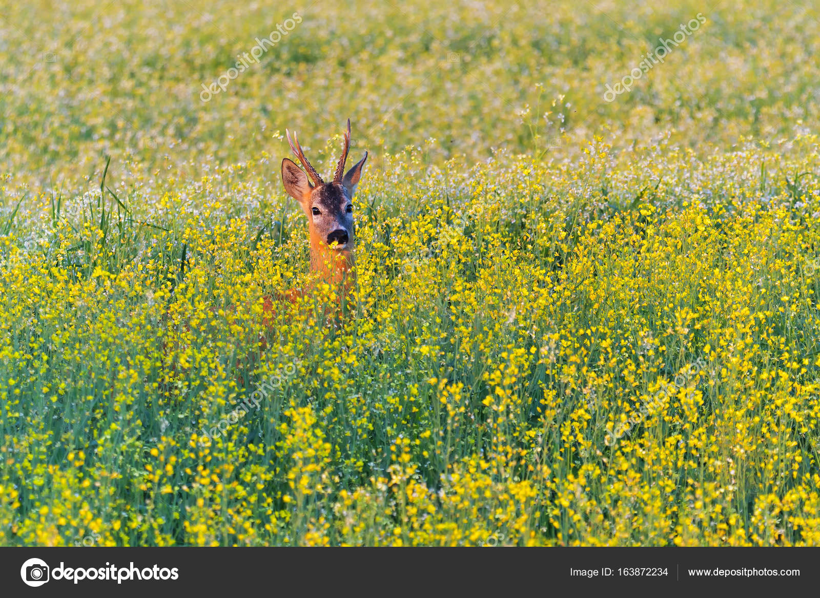 Fields with canola yellow flowers and a roe deer stock photo fields with canola yellow flowers and a roe deer stock photo mightylinksfo