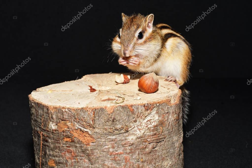 Siberian Chipmunk on a tree stump