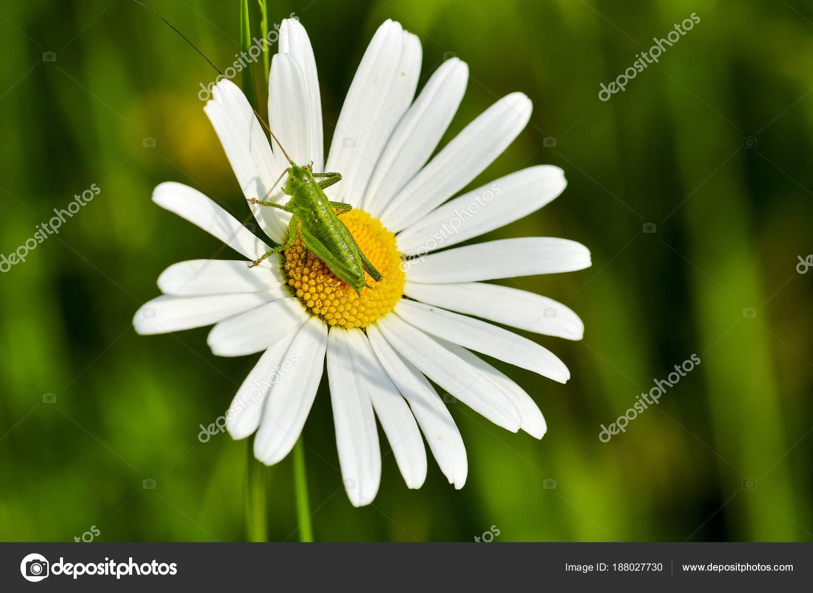 Small Grasshopper Daisy Flowers Garden Stock Photo Brszattila