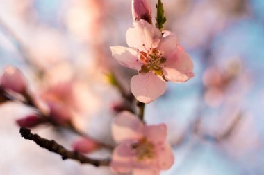 beautiful spring colors, apple blossoms and cherries
