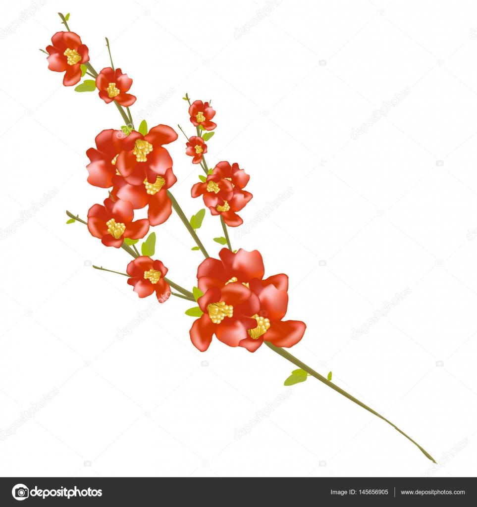 Branche De Cerisier En Fleurs Isolee Sur Fond Blanc Branche De