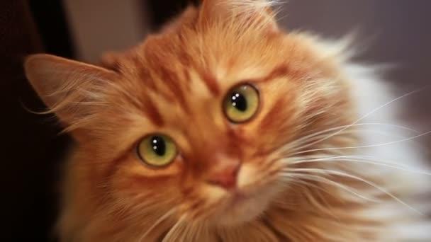 Vicces Maine coon macska mozgatni a fejét oda-vissza. Cirmos cica imádnivaló 7,5 hónapos. Gyönyörű vörös hajú kiscica keres valamit. Fiatal macska megfigyelésének, ezen a környéken: közelről, és mutatja a nyelv.