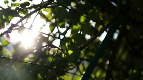 brzy ráno vyjde slunce skrze jabloní v sunrise, časová prodleva