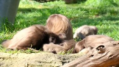 Family of monkeys playing
