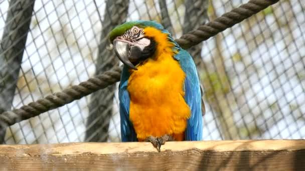 Macaw, blue and yellow, Ara Ararauna