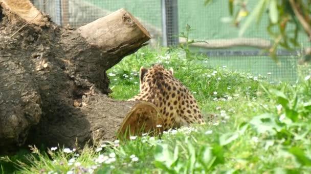 Cheetah resting lying on the grass, Acinonyx jubatus