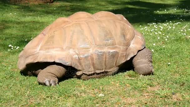 Óriás, eszik füvet, óriás teknős Aldabra teknős