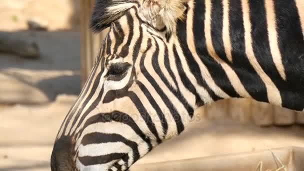 Chapman Zebra jíst trávu, Equus Burchelli Chapmani