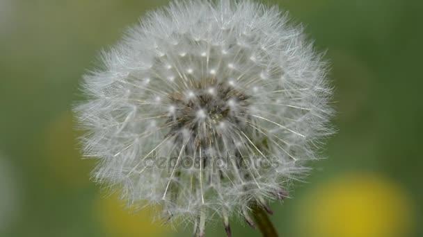 Pampeliška na letní pole ve větru
