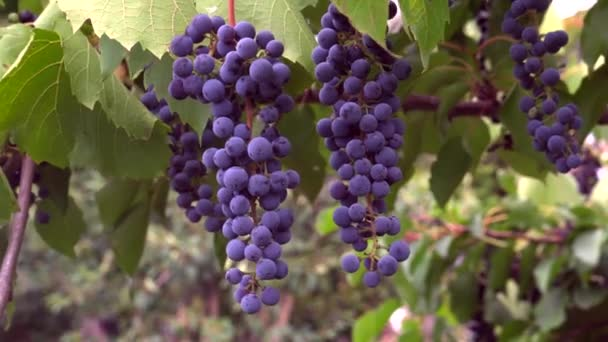 Vinice Zralé hrozny na vinné révě Vinné hrozny Sklizeň Village Krásné vinice