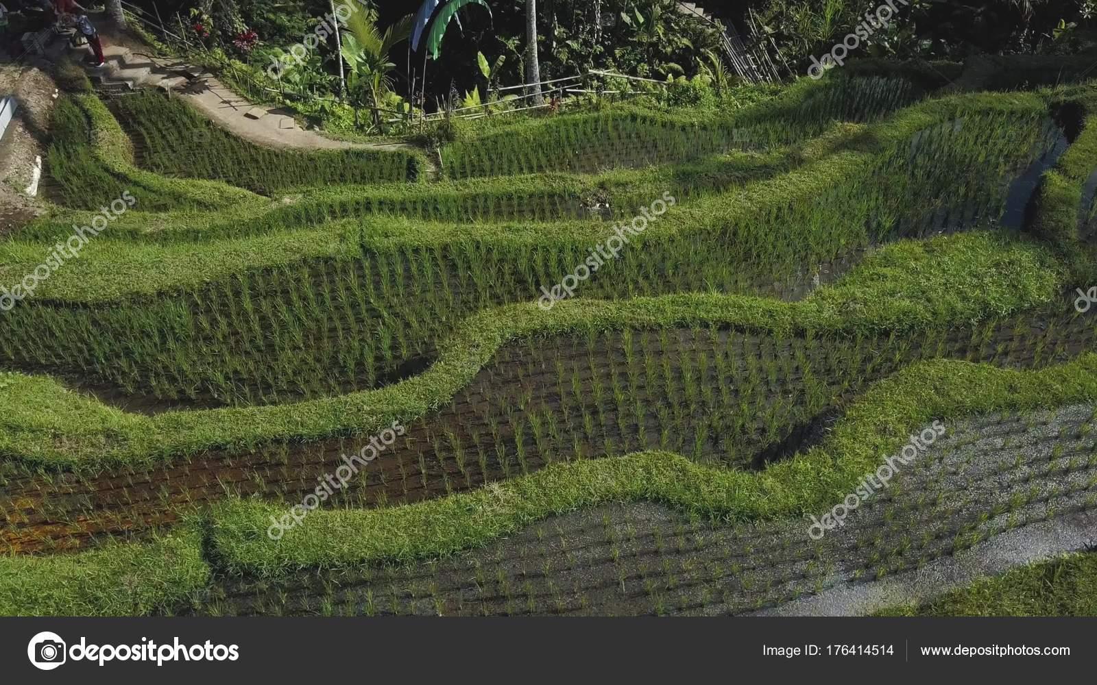 Terrazza Verde Del Riso In Bali Indonesia Foto Stock
